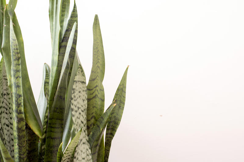 Sansevieria or Mother in Laws Tongue plant over white with copy space placed to the side