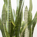 17386   Sansevieria trifasciata leaves in close up