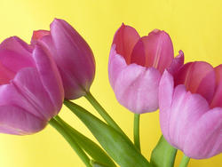 17369   Fresh spring tulips on yellow background