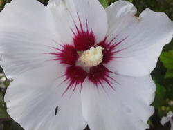 17559   Blooming White Hibiscus