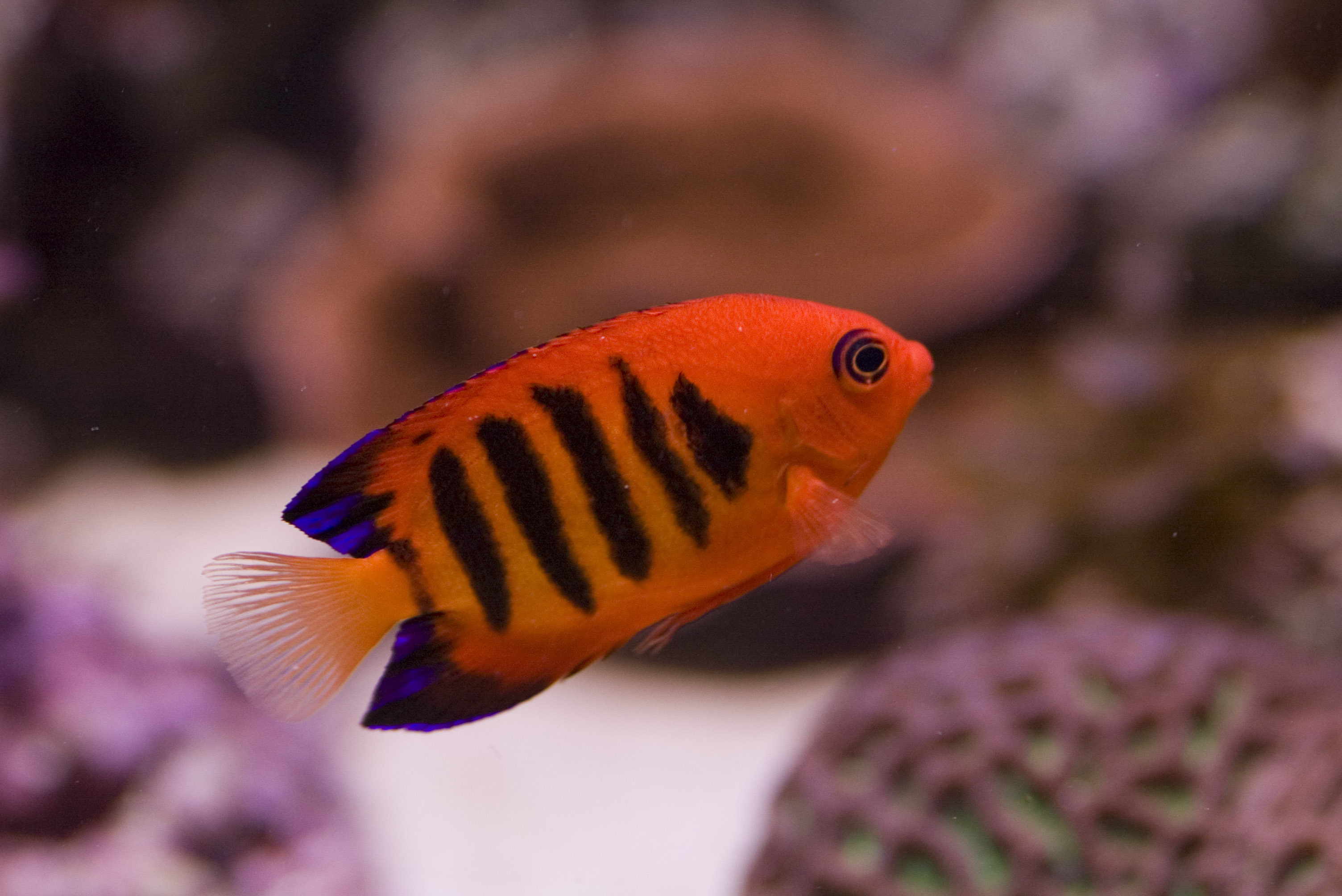 Free Stock Photo 1237-flame_angel_fish1460.jpg   freeimageslive