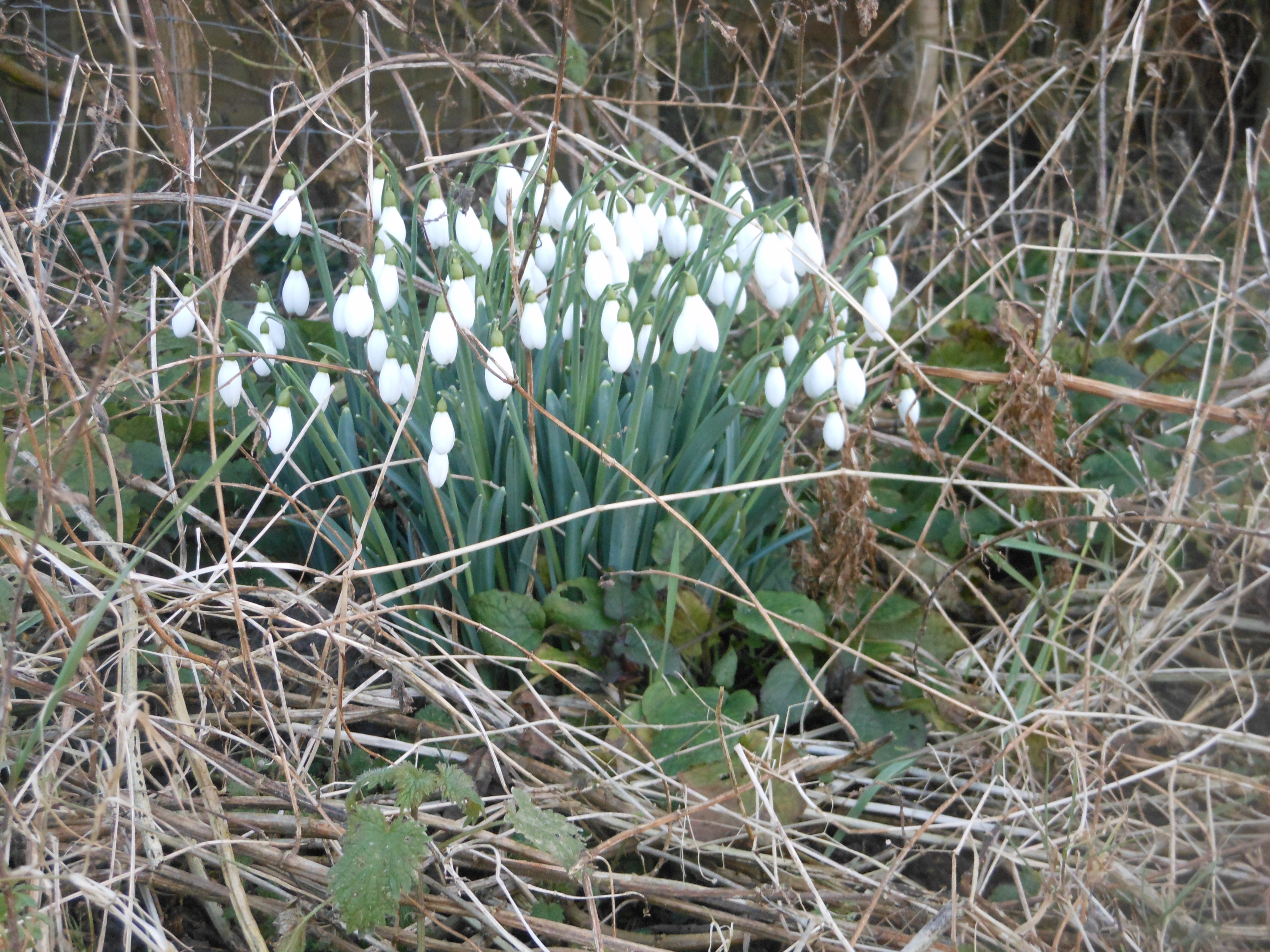 Free stock photo 12522 late winter early spring 1 freeimageslive plate winter flowers norfolk uk snowdropsp mightylinksfo