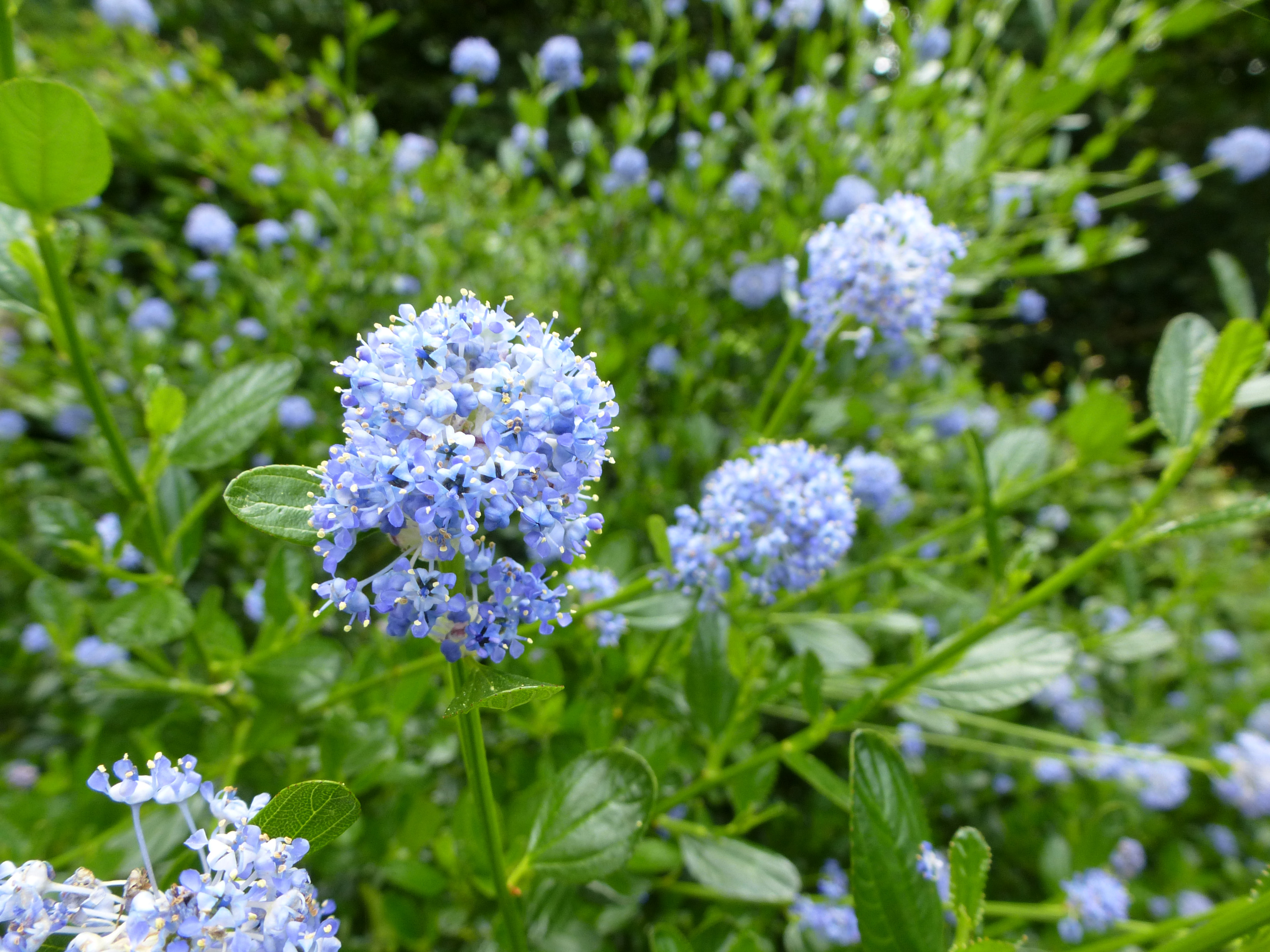 Free stock photo 12917 light blue flower cluster on plant in garden close up on light blue flower cluster on plant in outdoor garden during the summer season izmirmasajfo