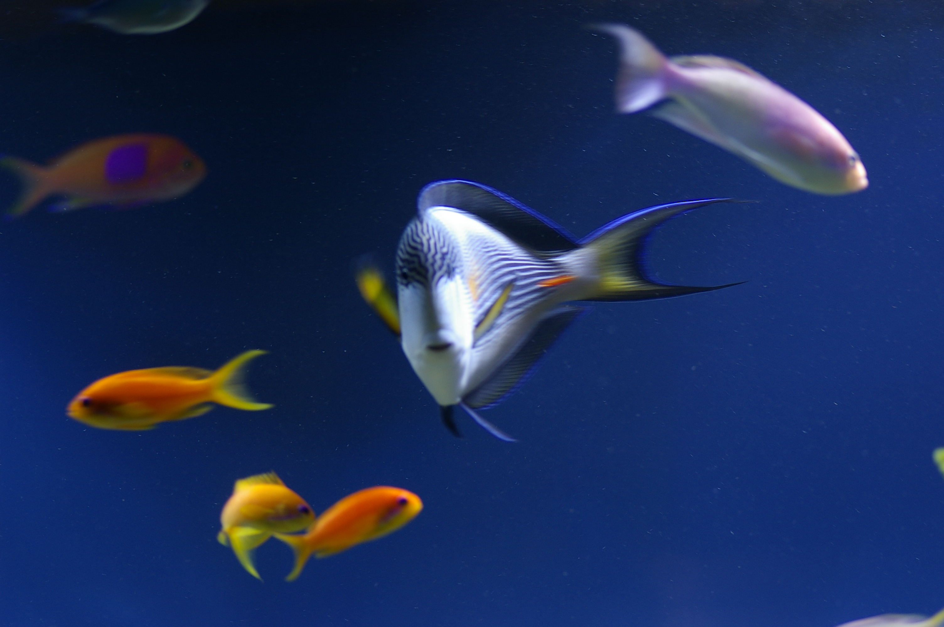 free stock photo 1351 tropical fish 0986 jpg freeimageslive
