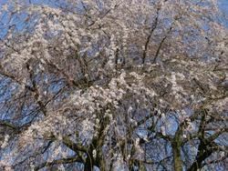 94-blossom_2541.JPG