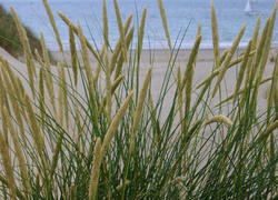 99-dune_grass_3865.JPG