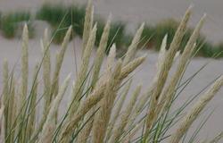 101-dune_grass_3869.jpg