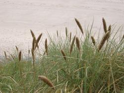 103-dune_grass_4473.JPG