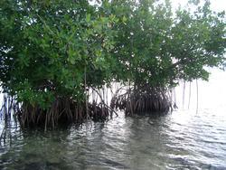 109-mangroves_5864.JPG
