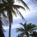 116-palm_trees5986.jpg