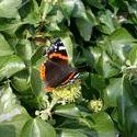 129-red_admiral_butterfly_4433.JPG