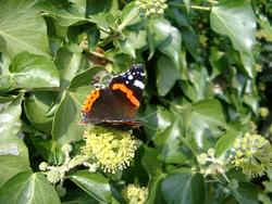 130-red_admiral_butterfly_4434.JPG