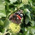 131-red_admiral_butterfly_4436.JPG