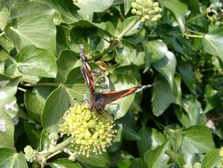 132-red_admiral_butterfly_4437.JPG