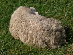 133-sheep_asleep4463.JPG