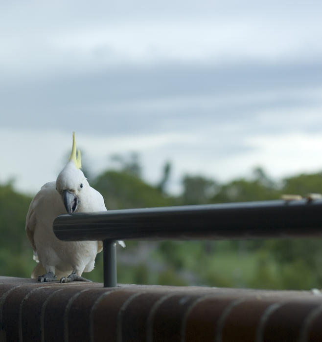a sulphur crested cockatoo perched on a balcony ledge eating a cracker