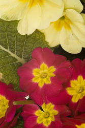 1116-Primrose_vulgaris_1711.jpg
