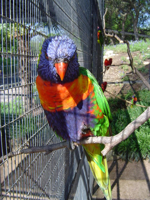 spectacular colours a captive Rainbow Lorikeet