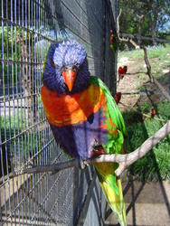 653-Rainbow Lorikeet