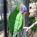 654-Rainbow Lorikeet