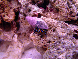 1230-blue_legged_hermit_crab_DSC00451.JPG