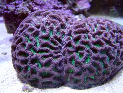 1187-brain_star_coral02319.JPG