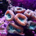 1232   candycane corals