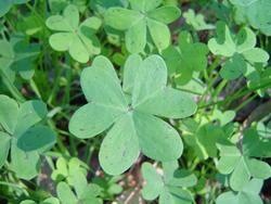 880-clover_green_02168.JPG