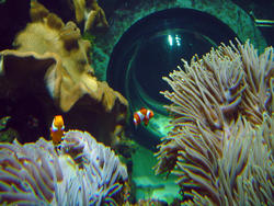 860-clown_anemonefish_02256.JPG