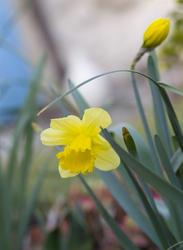 1118-daffodils_yellow_1596.jpg