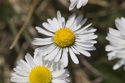 1119-daisies_P1775.jpg
