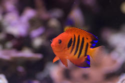 1239-flame_angel_fish2172.jpg