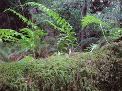 891-forest_fern_02033.JPG
