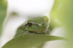 1133-green_frog_1631.jpg