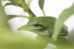 1135-green_frog_1637.jpg