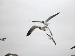 665-gulls