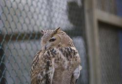 827-eagle owl