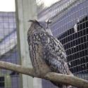 829-eagle owl