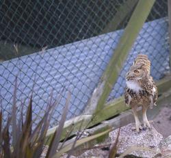 830-eagle owl