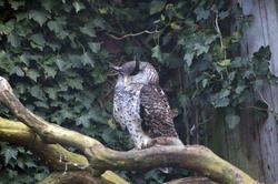 831-eagle owl
