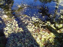 893-leaves_on_a_pond_02184.JPG
