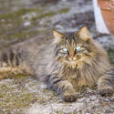 1137-longhaired_cat_1581.jpg