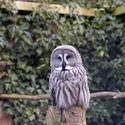 832-masked owl