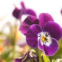 1123-purple_pansies1699.jpg