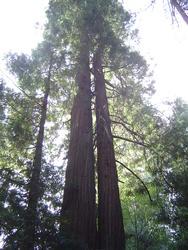 894-sequoia_forest_02019.JPG