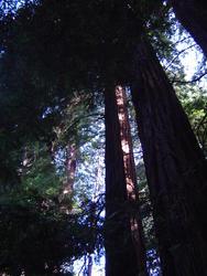 895-sequoia_forest_02020.JPG