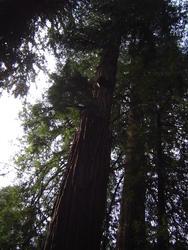 897-sequoia_forest_02023.JPG