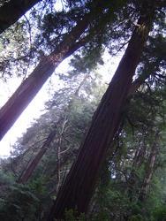 900-sequoia_forest_02027.JPG