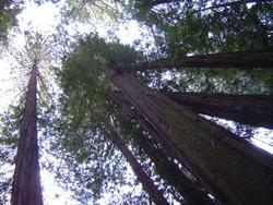 902-sequoia_forest_02039.JPG