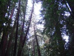 903-sequoia_forest_02040.JPG